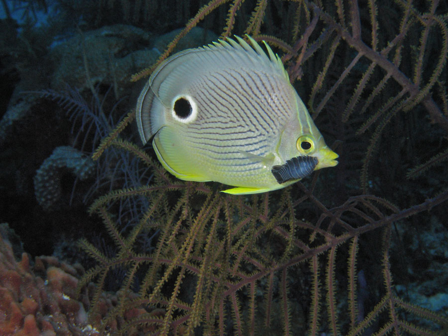 Foureye Butterfly Fish with Chrinoid